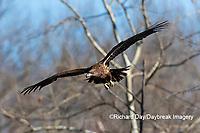 00807-03811 Bald Eagle (Haliaeetus lecocephalus) immature in flight Clinton Co. IL