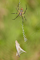 389990010 a wild yellow garden spider argiope aurantia perches in a web with grasshopper prey in hornsby bend travis county texas