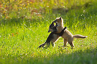 Young red foxes playing (Vulpes vulpes) <br /> Whiteshell Provincial Park<br /> Manitoba<br /> Canada