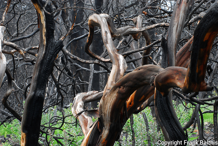 Manzanita after fire at Bonny Doon Ecological Reserve