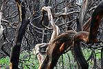 Manzanita after fire at Bonny Doon Ecological Reserve