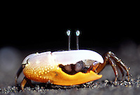This fiddler crab [Uca sp.] has one enlarged claw and spends its time close to the mangroves. The eyestalks fold down into a crevice in the crab?s carapace for protection. Indonesia.<br />