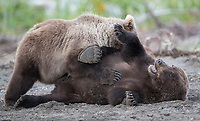 Yearling brown bear cubs wrestle playfully.