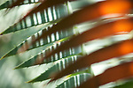 A close-up of cycad leaves.