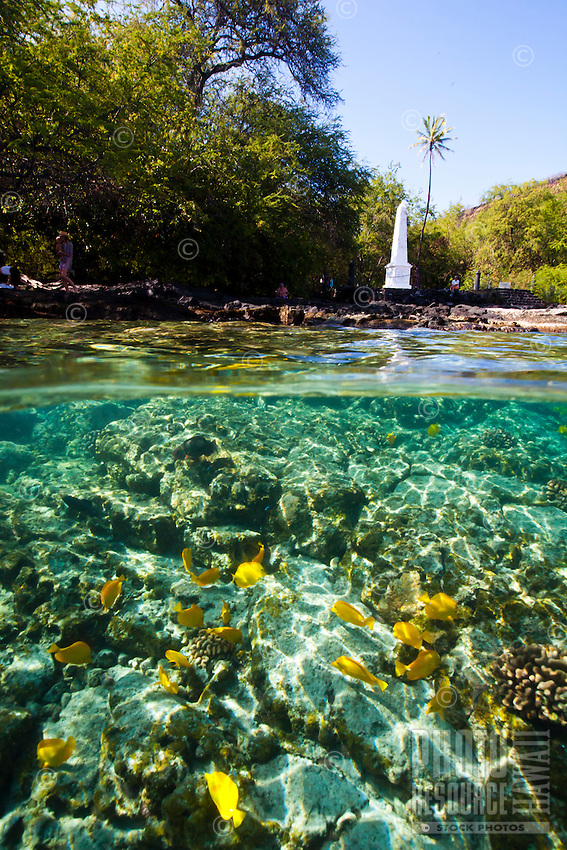 A school of yellow tang feeding in the waters near the Captain Cook Monument as visitors take in the sights nearby, Kealakekua Bay, Big Island