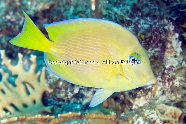 Acanthurus coeruleus, Blue tang, intermediate, Florida Keys