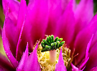 A hedgehog cactus in bloom in springtime in Oro Valley, Arizona.