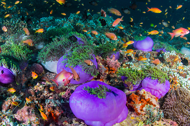 Field of underwater Purple anemones, Purple anemones, Radianthus magnifica, healthy reefs, reefscapes, Wide Angle, Maldives