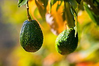 Avocados are seen growing on a tree at a farm near Sonsón, Antioquia department, Colombia, 16 October 2019. Over the past decade, the Colombian avocado industry has experienced massive growth, both as a result of general economic development in Colombia, and the increased global demand for so-called superfood products. The geographical and climate conditions in Antioquia (high altitude, no seasonal extremes, high precipitation rate) allow two harvest windows of the Hass avocado variety across the year. Although the majority of the Colombian avocado exports are destined towards Europe now, Colombia aspires to become one of the major avocado suppliers to the U.S. market in the near future.