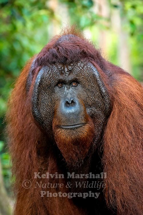 "Bornean Male Orangutan ""Tom"" (Pongo pygmaeus) - Tanjung Puting National Park, Central Kalimantan Indonesia."