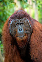 "Bornean Male Orangutan ""Tom"" (Pongo pygmaeus) - Tanjung Puting National Park, Central Kalimantan Indonesia."