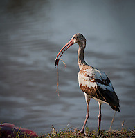 Juvenile White Ibis standing beside the water with a water bug in it's beak in Florida Everglades