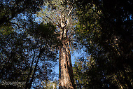 Image Ref: T67<br /> Location: Ada Tree Walk, Yarra Ranges<br /> Date: 16 July, 2016