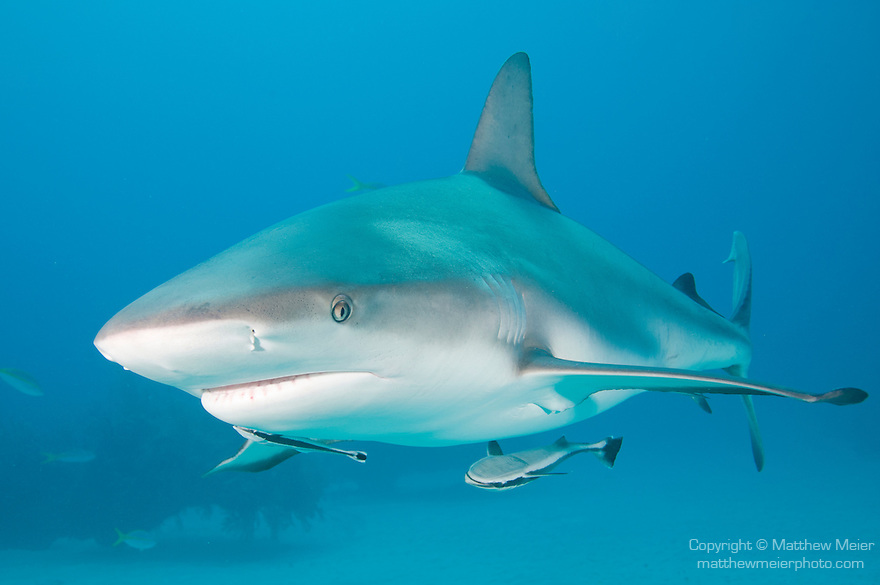 Grand Bahama Island, The Bahamas; a Caribbean Reef Shark (Carcharhinus perezi) swimming over the sandy bottom, past coral patch reefs, with two Whitefin Sharksucker (Echeneis neucratoides) fish beneath