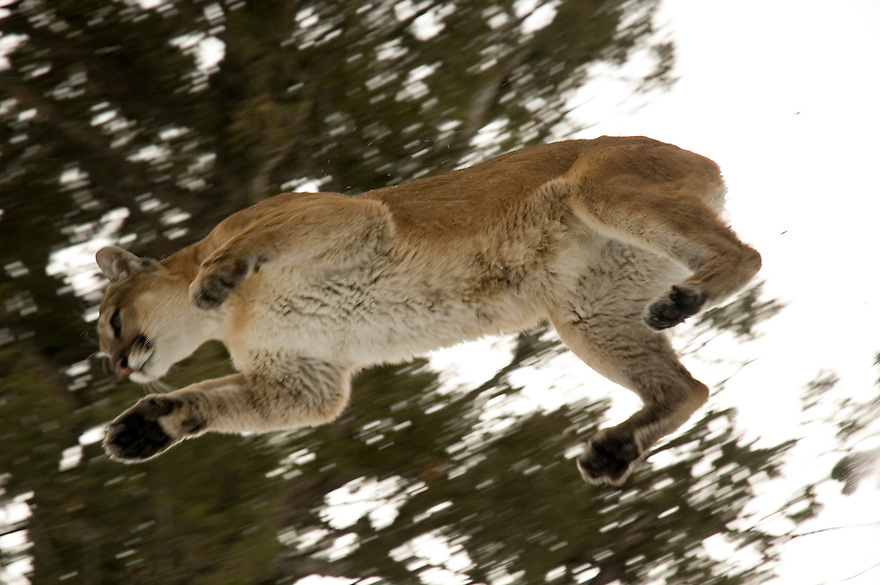 A mountain lion leaps from a tree in the Gallatin Mountains near Emigrant, Montana.
