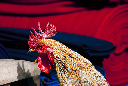 Colorful rooster, mouth open, stands near bolts of red, white and blue cloth