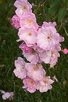 Rosa Flower Girl pink shrub pink rose aka FRYyeoman, bred 1998 by Fryer