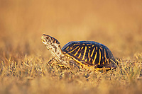 Ornate Box Turtle (Terrapene ornata), male, Sinton, Corpus Christi, Coastal Bend, Texas Coast, USA, North America