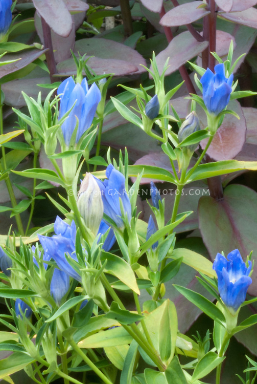 Gentiana 'Blue Magic' in blue flowers