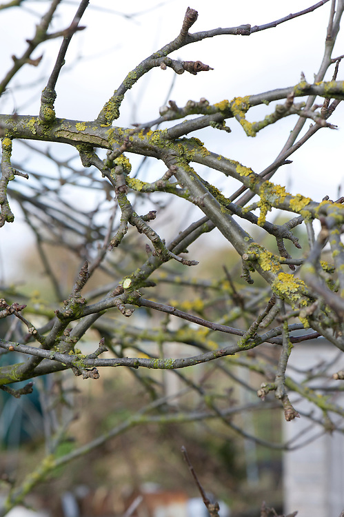 Tangled, congested areas of established apple and pear trees should be thoroughly thinned out in winter. If they're not, they keep out light and air, promoting the risk of disease. AFTER.