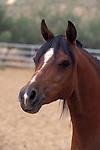 Domestic Horse (Equus caballus) head...