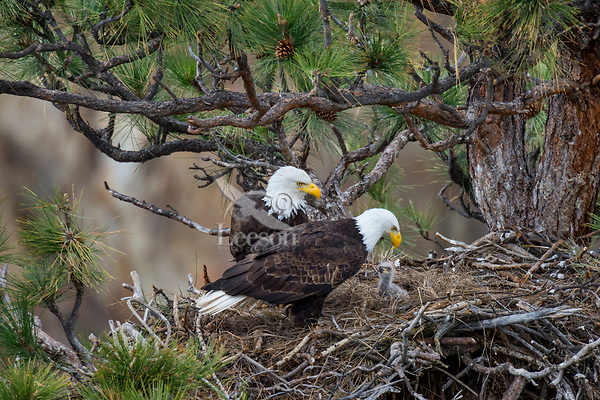 Bald Eagle Nest (Haliaeetus leucocephalus)--both adults with ten to twelve day old eaglet in tall ponderosa pine tree.  Oregon.  April.