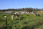 dairy cattle near Petaluma
