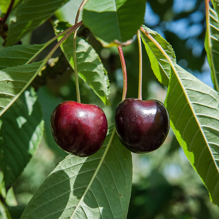 Cherry 'Thurn Taxis', mid July. A black sweet cherry.