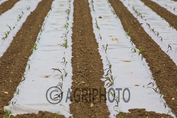 Maize growing under plastic