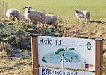 LOCHEM - Schapen op de baan met holebord. Lochemse golfclub de Graafschap in de winter. COPYRIGHT KOEN SUYK