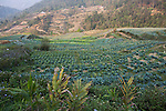 Vegetable fields, Sapa, Northern Vietnam