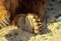 Grizzly Bear back foot.