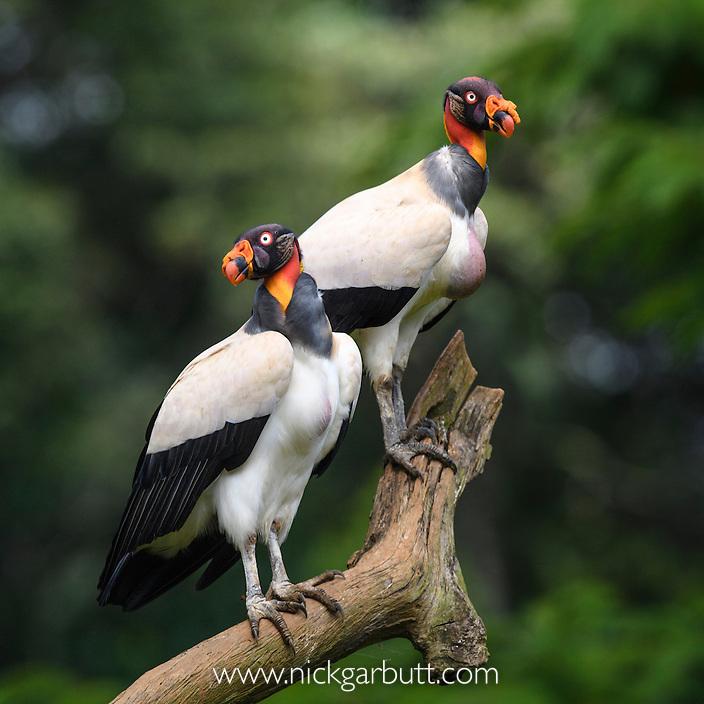 Adult King Vulture (Sarcoramphus papa)  Laguna del Lagarto, Boca Tapada, Caribbean slope, Costa Rica, Central America.