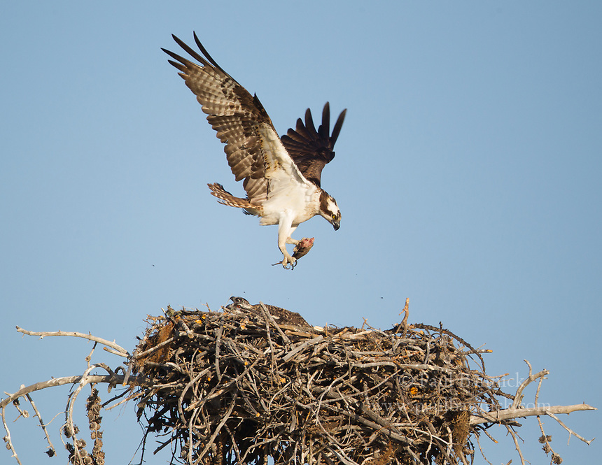 A female Osprey lands at her nest with a fish for her two waiting young.