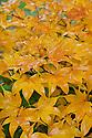 Japanese maple (Acer palmatum 'Ichigyoj') , end October.