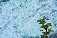 Coniferous tree and Bow Falls<br />