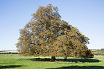 Horse chestnut tree, Aesculus, hippocastanum, in autumn leaf standing in field, West Overton, Wiltshire, England, UK