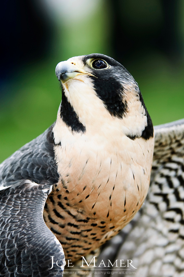 Peregrine Falcon portrait with wings spread.