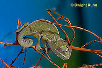CH47-600z  Veiled Chameleon several week old young, Chamaeleo calyptratus
