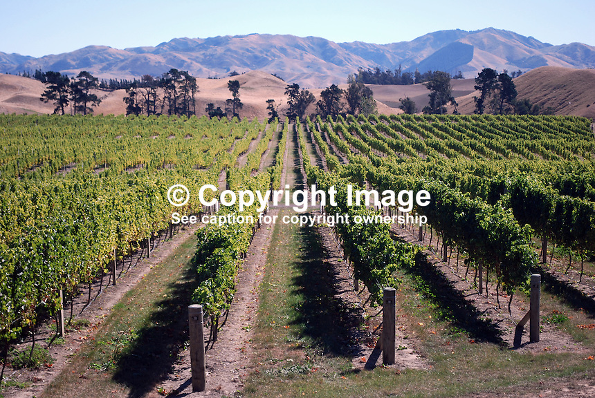 Vineyard near Blenheim in the Marlborough wine making region of New Zealand. 201004115328..Copyright Image from Victor Patterson, 54 Dorchester Park, Belfast, United Kingdom, UK. Tel: +44 28 90661296. Email: victorpatterson@me.com; Back-up: victorpatterson@gmail.com..For my Terms and Conditions of Use go to www.victorpatterson.com and click on the appropriate tab.