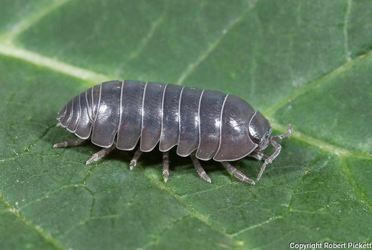 Pill Woodlice or pillbug, Armadillidium vulgare, on leaf in garden, segmented body, legs,