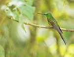 Male empress brilliant hummingbird, Heliodoxa imperatrix, perched on a branch at Refugio Paz de las Aves, Ecuador