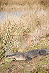 Columbia Ranch, Brazoria County, Damon, Texas; an American Alligator (Alligator mississippiensis) sunning itself on the bank of a slough