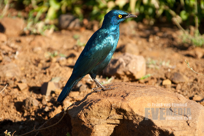 Glossy Starling (Lamprotornis).Perched on a rock. Fall, April 2007..Hluhluwe Imfolozi Game Reserve, KwaZulu Natal, South Africa.