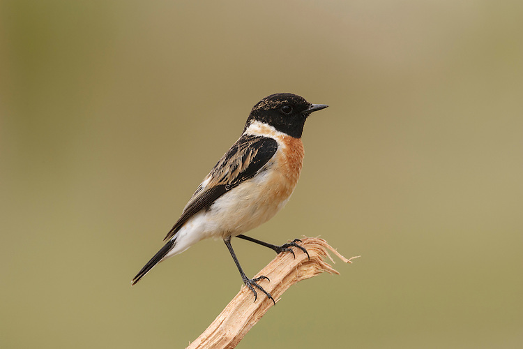 Siberian Stonechat Saxicola maurus - Male. L 12-13cm. Small, compact bird. When perched, flicks short, dark tail and utters harsh alarm call. Sexes are dissimilar. All birds have a pale, unmarked rump. Adult male has blackish head, white on side of neck, and dark back. Breast is orange-red, grading into pale underparts. In autumn, pale feather fringes make head appear paler. Adult female is similar but colours are muted and plumage is more streaked. 1st winter bird has streaked sandy brown upperparts and head, and buffish orange underparts. Voice Utters harsh tchak call, like two pebbles knocked together. Song is rapid and warbling. Status Breeds in Siberia and central Asia and winters in southern Asia. Vagrant in Europe.