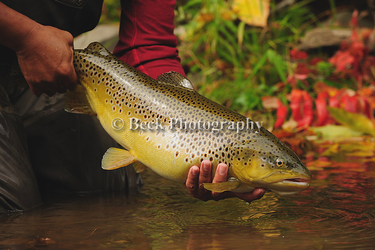 Water falls at The Glen in Pennsylvania. fall 09 brown trout