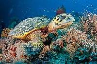 Hawksbill turtle, Eretmochelys imbricata, Critically endangered (IUCN), Tubbataha Natural Park, Natural World Heritage Site, Sulu Sea, Cagayancillo, Palawan, Philippines