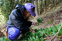 Mountain vegetable farmer Yoshiya Sato picking gyoja-ninniku (a type of wild garlic) on a hillside near their home. Tsuruoka, Yamagata Prefecture, Japan, April 9, 2016. The city of Tsuruoka in Yamagata Prefecture is famous for its sansai mountain vegetable cuisine. These foraged grasses, fungi and vegetables are also used by the mountain ascetics of the Shugendo religion.