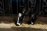 Cattle feeding. El Principal ranch, the biggest ranch providing milk to Alpura, Delicias, Chihuahua, Mexico