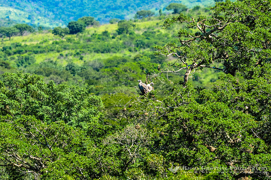 Cape Griffon or Cape Vulture sitting in a tree. Hluhluwe-Umfolozi Game Reserve, South Africa.